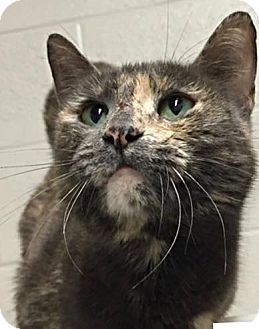 Domestic Shorthair Cat for adoption in Enid, Oklahoma - Paisley (Pen 17)