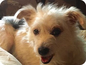 Cairn Terrier/Terrier (Unknown Type, Small) Mix Dog for adoption in Spring Valley, New York - Maggie