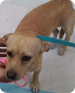 Chihuahua Mix Dog for adoption in Visalia, California - Ivan