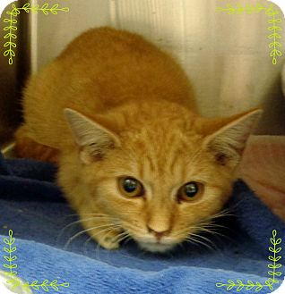 Domestic Shorthair Kitten for adoption in Marietta, Georgia - AUTO