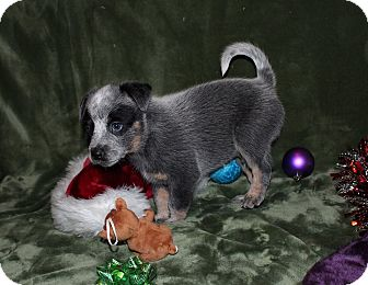 Australian Cattle Dog Mix Puppy for adoption in West Milford, New Jersey - BARON-pending