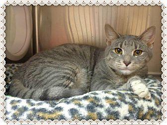 Domestic Shorthair Cat for adoption in Marietta, Georgia - ROY SEE ALSO RAIANNE