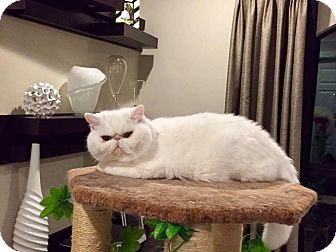 Himalayan Cat for adoption in Miami, Florida - Mona