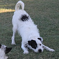 Schnauzer (Standard)/Pointer Mix Dog for adoption in McKinney, Texas - Polo