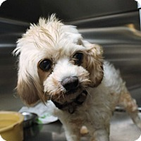 Pekingese/Poodle (Toy or Tea Cup) Mix Dog for adoption in Fort Madison, Iowa - Dara