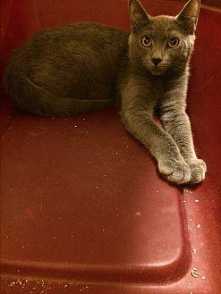 Russian Blue Kitten for adoption in Sunny Isles Beach, Florida - Aramis
