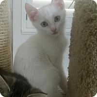 Adopt A Pet :: Pan - San Tan Valley, AZ