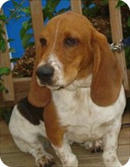 Basset Hound Dog for adoption in Charleston, South Carolina - Talan