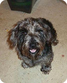 Standard Schnauzer/Dachshund Mix Dog for adoption in Ashland, Virginia - Aiden-ADOPTED!!!