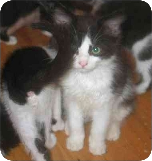Domestic Mediumhair Kitten for adoption in Davis, California - Cinderella