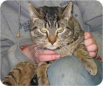 Domestic Shorthair Cat for adoption in Olean, New York - Pebbles
