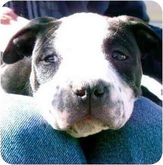 Pit Bull Terrier Mix Puppy for adoption in springtown, Texas - Angelina