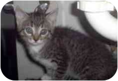 Domestic Mediumhair Kitten for adoption in Miami Beach, Florida - Chelsie,FL