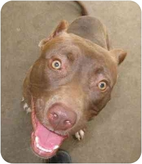 Pit Bull Terrier Dog for adoption in Lawton, Oklahoma - SHASTA
