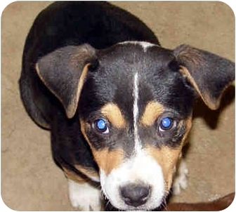 Beagle/Boxer Mix Puppy for adoption in Boonton, New Jersey - Sabrina~ADOPTED
