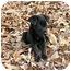 Photo 3 - Labrador Retriever Mix Puppy for adoption in Preston, Connecticut - Gemma
