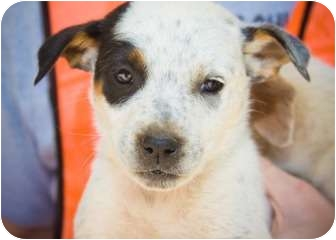 Cattle Dog Mix Puppy for adoption in Danbury, Connecticut - Enzo