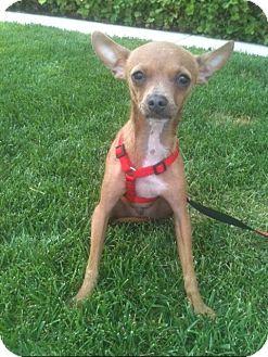 Chihuahua Puppy for adoption in El Cajon, California - SLIM, see my video!