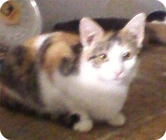 Calico Cat for adoption in Bear, Delaware - Chelsea
