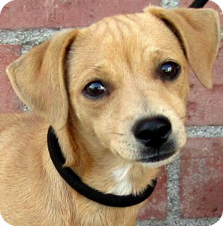 Dachshund/Beagle Mix Puppy for adoption in Los Angeles, California - Juicy Fruit *VIDEO*