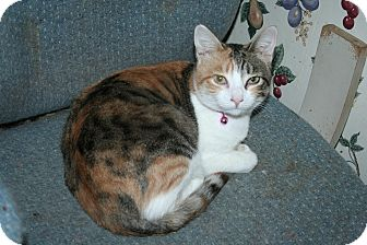 Calico Cat for adoption in Santa Rosa, California - Charlotte