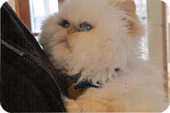 Himalayan Cat for adoption in Davis, California - Mr. Magic