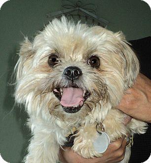 Shih Tzu Mix Dog for adoption in Studio City, California - Candie