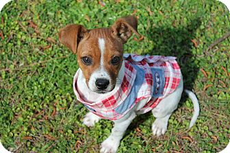 Jack Russell Terrier Mix Puppy for adoption in Albany, Georgia - Pearl