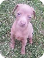 Miniature Pinscher Puppy for adoption in Columbus, Ohio - Finn