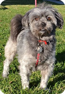 Shih Tzu Mix Dog for adoption in Simi Valley, California - Bella