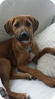 Doberman Pinscher/American Pit Bull Terrier Mix Puppy for adoption in Detroit, Michigan - Fawn-Adopted!