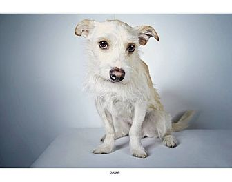 Westie, West Highland White Terrier/Terrier (Unknown Type, Small) Mix Dog for adoption in New York, New York - Oscar