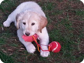Border Collie/Golden Retriever Mix Puppy for adoption in Las Vegas, Nevada - Daisy's Bella