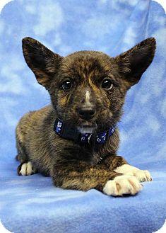 Australian Shepherd/Shepherd (Unknown Type) Mix Puppy for adoption in Westminster, Colorado - Molly