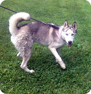 Husky Mix Dog for adoption in Bloomfield, Connecticut - Tramp