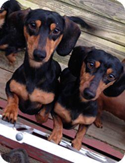 Dachshund Dog for adoption in Georgetown, Kentucky - Bo and Duke Luke