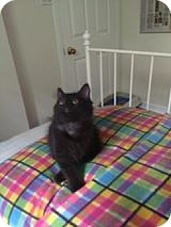 Domestic Mediumhair Kitten for adoption in THORNHILL, Ontario - Chrissy