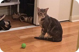 Domestic Shorthair Cat for adoption in Toronto, Ontario - Winston