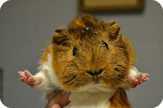 Guinea Pig for adoption in Michigan City, Indiana - Luka