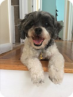 Shih Tzu/Poodle (Miniature) Mix Dog for adoption in Long Beach, New York - Bentley