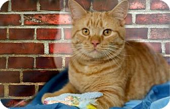 Domestic Shorthair Cat for adoption in Voorhees, New Jersey - Steve