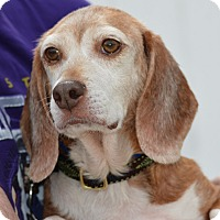 Beagle Mix Dog for adoption in Waldorf, Maryland - Althea Hughes