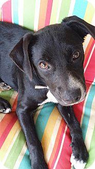 Border Collie/Labrador Retriever Mix Dog for adoption in Fort Atkinson, Wisconsin - Maci
