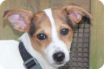 Fox Terrier (Toy)/Rat Terrier Mix Dog for adoption in North Olmsted, Ohio - Penny