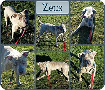 American Pit Bull Terrier Mix Dog for adoption in Joliet, Illinois - Zeus
