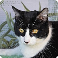 Domestic Shorthair Cat for adoption in Englewood, Florida - Mr. Kitty