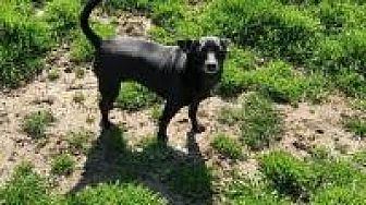 Chihuahua Mix Dog for adoption in Ashville, Ohio - Cricket