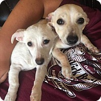 Dachshund/Chihuahua Mix Puppy for adoption in Chico, California - Melody