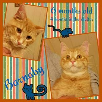 Domestic Shorthair/Domestic Shorthair Mix Cat for adoption in Shelbyville, Kentucky - Barnaby