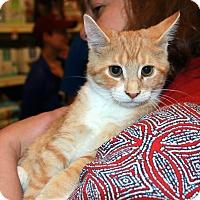 Domestic Shorthair Kitten for adoption in Rochester, Minnesota - Arugula